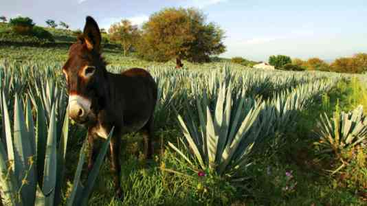 A donkey stands in an agave field.