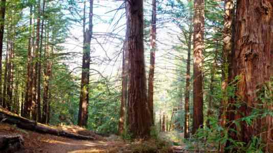 A redwood grove.